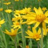 Photo of Arnica montana flowers