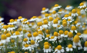 photo of camommile flowers