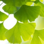 phot of ginkgo biloba leaves