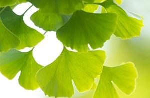 phot of ginkgo biloba leaves