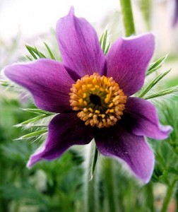 photo of a pasque flower